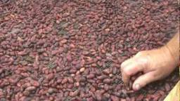 Hawaiian chocolate beans.