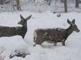 Estes Park deer